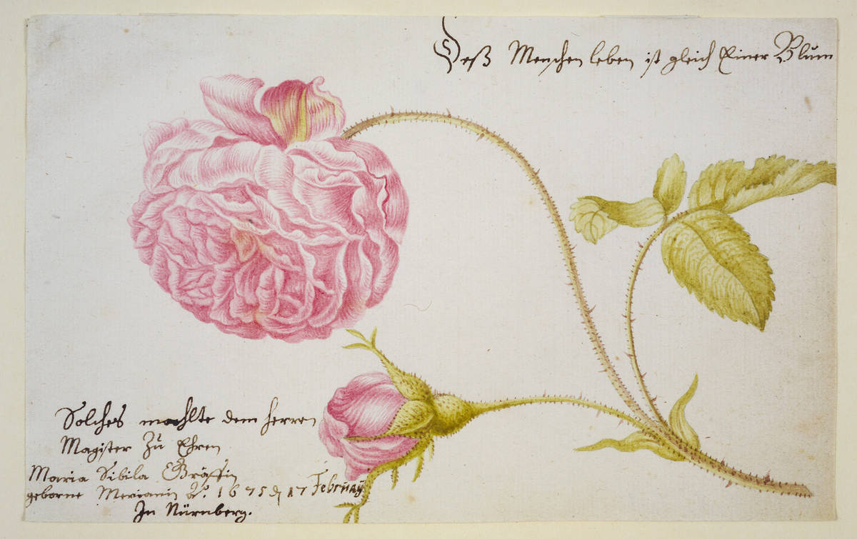 Maria_Sibylla_Merian_Stammbuchblatt_mit_Rose_1675 (1)