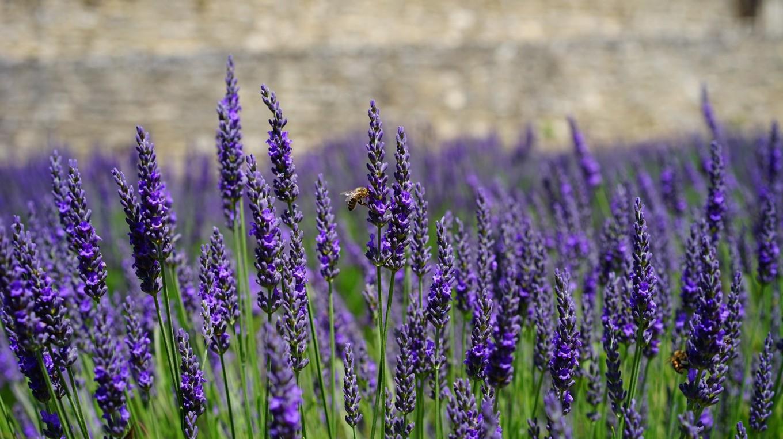 lavender-flowers-1469761_1920