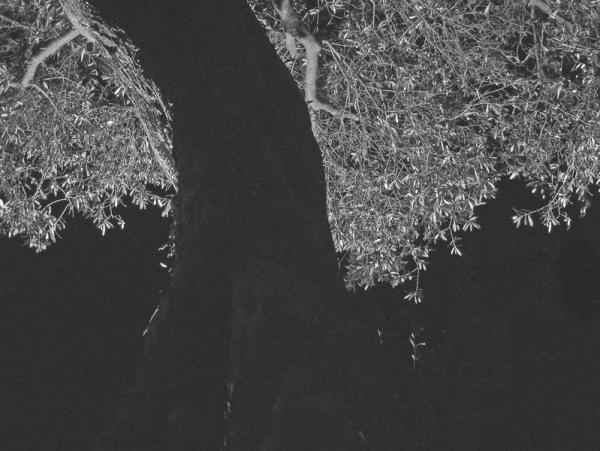 Ниже — ночная фотография оливкового дерева на острове Крит. Сделана почти в полной темноте.
