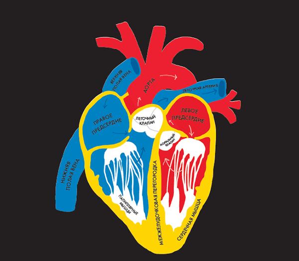 Сердце — невероятный орган. Оно автоматически сокращается примерно 70 раз в минуту (у взрослого человека).