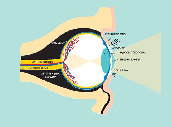 Самая глубокая оболочка глаза — сетчатка. Она состоит из светочувствительных клеток — фоторецепторов.