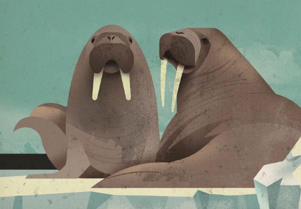 Моржи используют свои огромные клыки, чтобы выбираться из воды, отбиваться от хищников, проделывать отверстия для дыхания во льду и собирать моллюсков — их любимое лакомство — с морского дна.