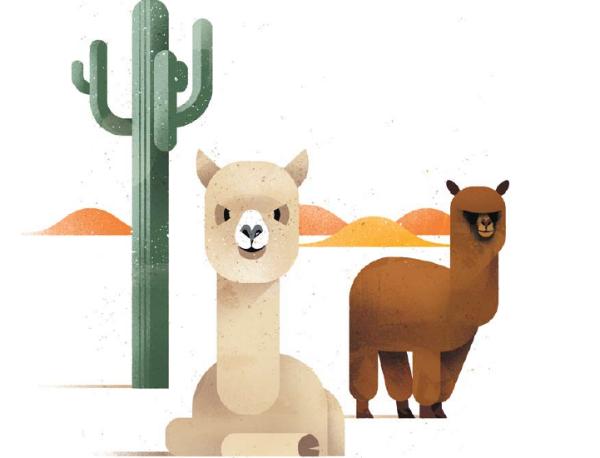 Альпака — родственники верблюдов, поэтому их ещё называют верблюдами Нового Света.