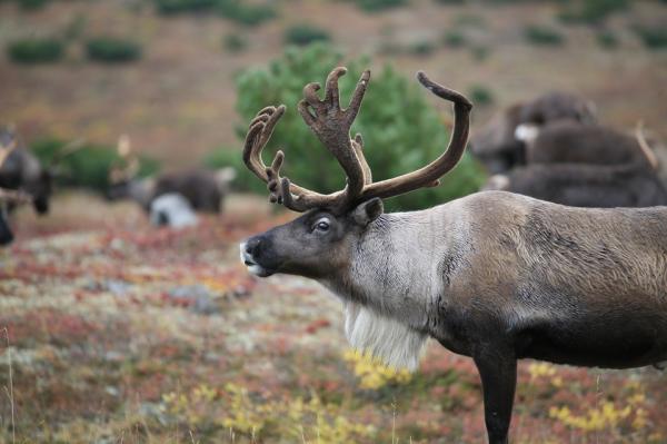Северные олени в основном известны способностью чувствовать запахи, но их зрение тоже очень любопытно: они видят в ультрафиолете