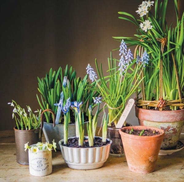 Подснежники обычно привозят из Европы, и они есть в продаже в садовых центрах по всему миру.