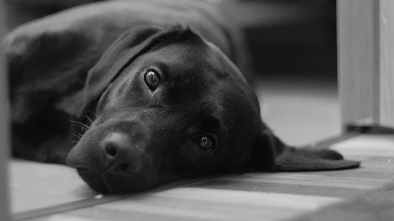 Видеть добрую черную собаку во сне — предупреждение о возможном разочаровании в новом знакомом.