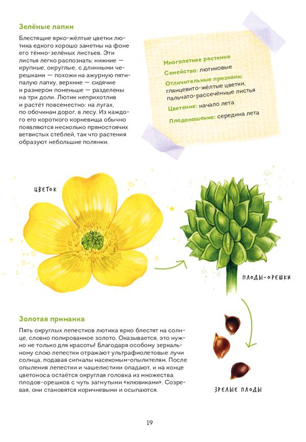 Для засушивания растений есть специальные страницы с калькой. А чтобы было интереснее, можно понаблюдать, как цветок проживает жизнь. Вы можете скачать лист с описанием лютика и вместе с ребенком найти его в парке или лесу.