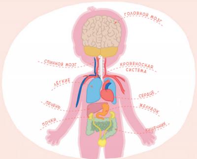 На следующем этапе знания по анатомии можно углублять и развивать. Разобрать с ребенком более подробные схемы органов и систем, раскрыть сложные термины: что такое гемоглобин, рецепторы, рефлексы.