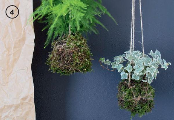 берните мхом шар из почвы, уберите лишние складки, крепко обмотайте веревкой и завяжите. Подвесьте кокедаму на трех дополнительных веревках. Также ее можно поместить в любое блюдце или пиалу. Поливайте растение примерно раз в неделю, на 15–20 минут погружая в воду или обрызгивая распылителем.