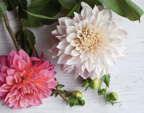 Георгины — чудесные цветы, которые цветут почти до самой зимы. В летних букетах георгины хорошо смотрятся с полевыми и сезонными цветами, осенние композиции можно разбавить ягодами и багряной листвой. Давайте сделаем очаровательный букет с космеями и гортензией.