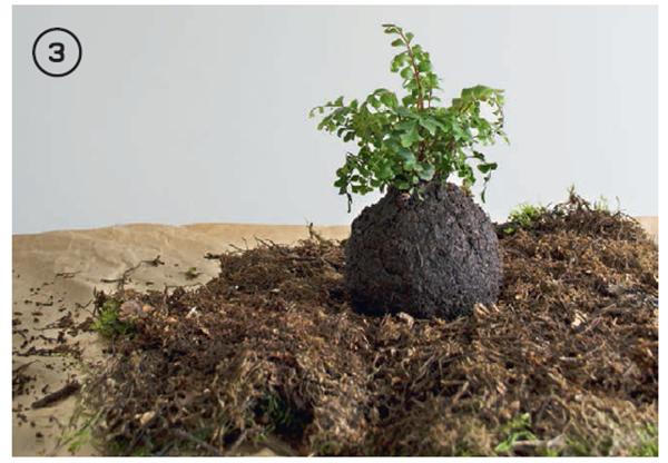 Сделайте отверстие в центре шара почвы и осторожно поместите внутрь корни растения, обернутые мхом. Если шар будет разваливаться, спрессуйте его покрепче, а затем поставьте в центр пласта мха.